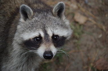 Raccoon, Face, Outdoors
