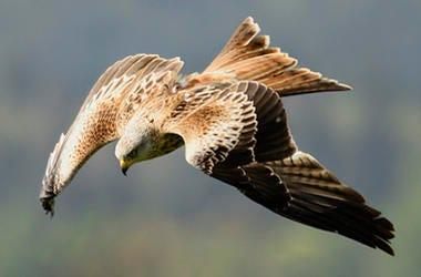 Diving bird-hawk