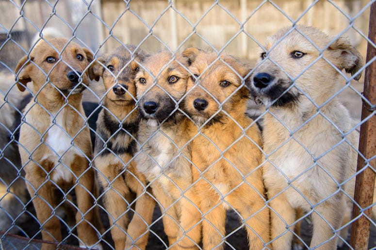 Stray Dogs, Rescues, Shelters, Chain Link Fence