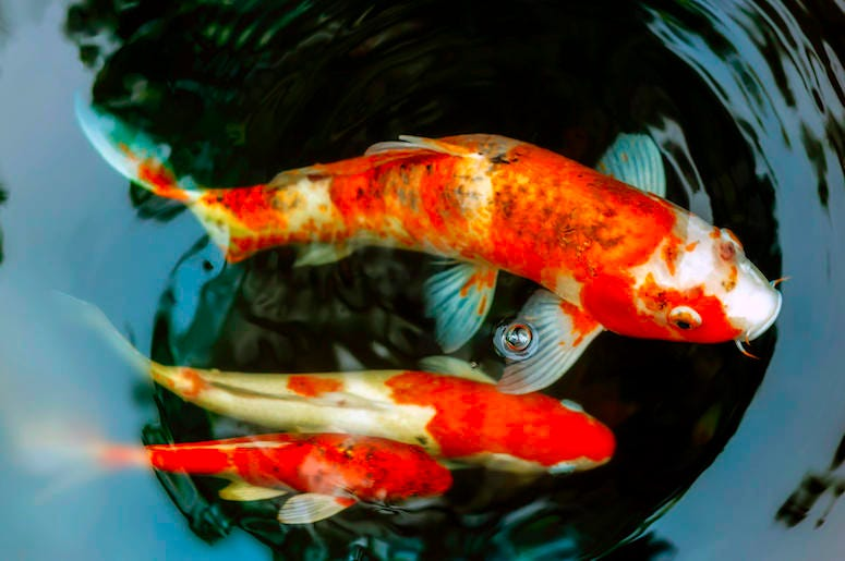 Koi Fish, Pond, Water, Fish, Orange