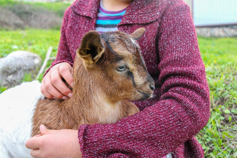 Little Girl, Baby Goat, Cuddle