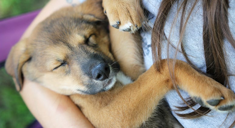 A new German Shepherd Dog, Husky mixed breed puppy is sleeping in her owner's arms.