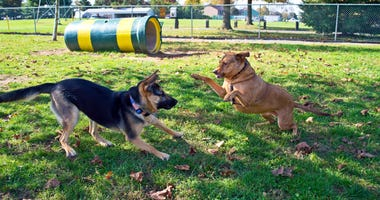 A German Shepherd and a Labrador mix at play in dog park in Central New Jersey