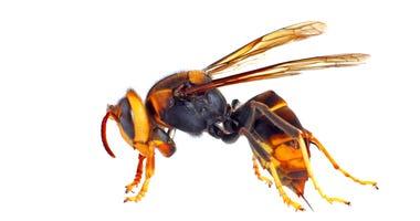Picture of Asian hornet nicknamed 'murder hornet'