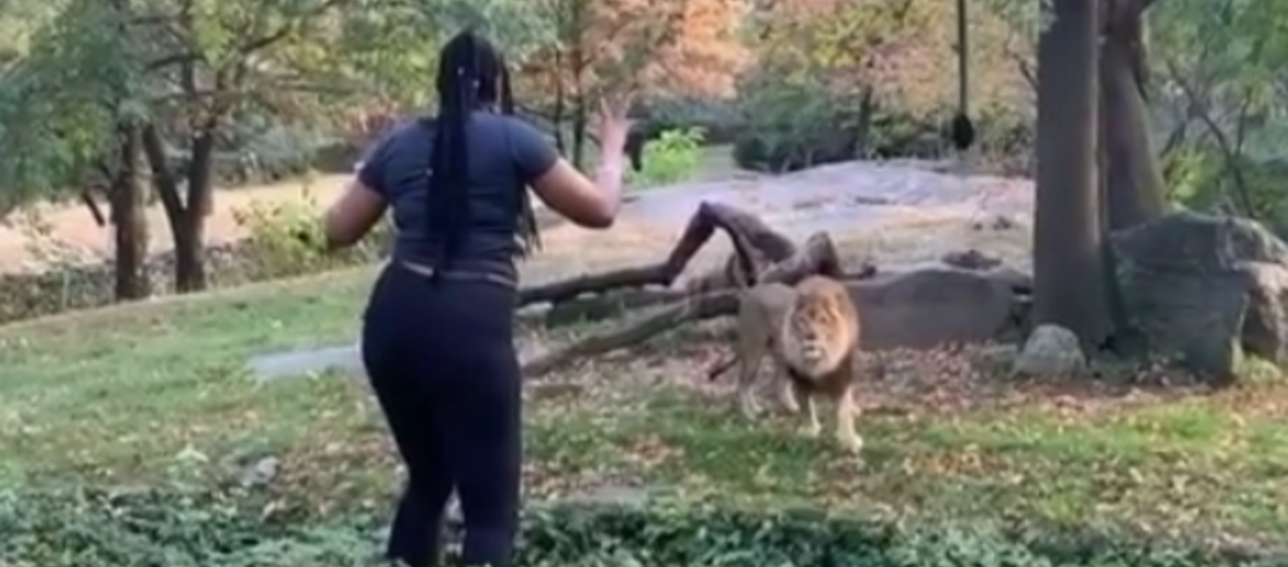 WATCH: Woman Dances in Front of Lion at New York Zoo | Q100 5