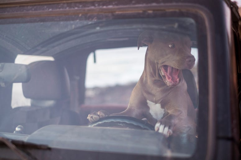 dog on car horn