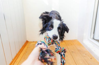 Border Collie with toy
