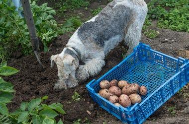 dog potato