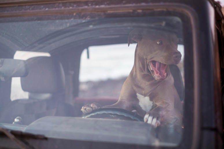 dog on car horn