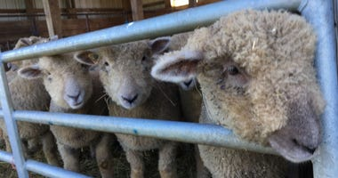 Sheep at W.B. Saul School.
