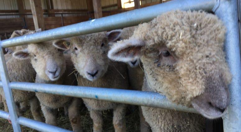 Sheep at W.B. Saul School.
