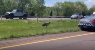 Emu on Route 422