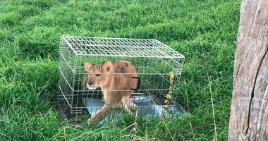 In this image released by the Dutch Police on Monday Oct. 8, 2018, an abandoned lion cub is caged after being found in a field, near Tienhoven, Netherlands.