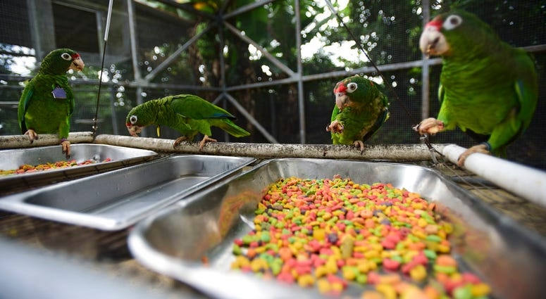 Puerto Rican parrots eat inside one of the flight cages at the Iguaca Aviary in El Yunque, Puerto Rico.
