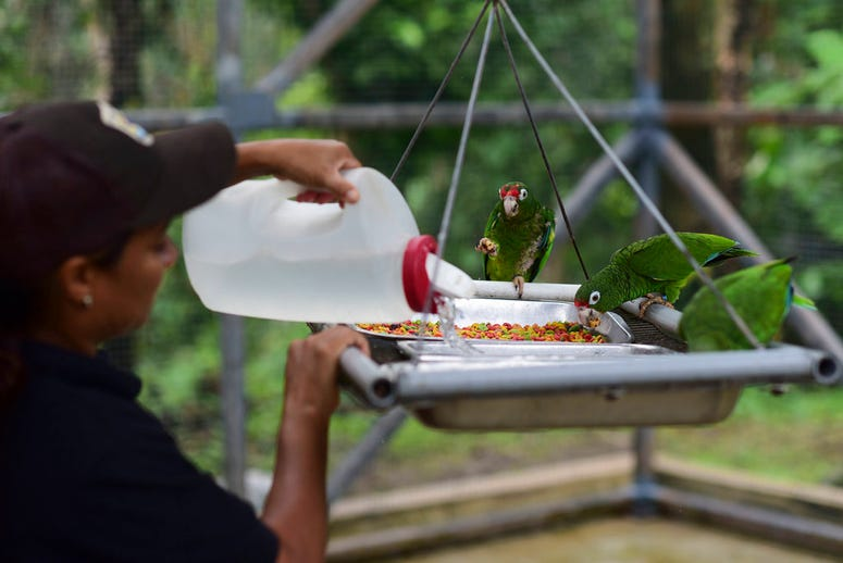 Biological science technician Iris Rodriguez feeds a trio of Puerto Rican parrots inside a flight cage in the Iguaca Aviary at El Yunque, Puerto Rico.
