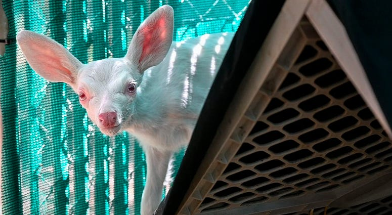 An albino fawn peers out from behind a shelter inside its enclosure, Thursday, May 30, 2019, at the Kindred Spirits Fawn Rescue in Loomis, Calif.