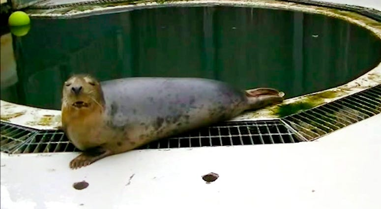 In this undated image made from video provided by the University of St. Andrews, a seal copies the sounds of the song Twinkle Twinkle Little Star, in St Andrews, Scotland.