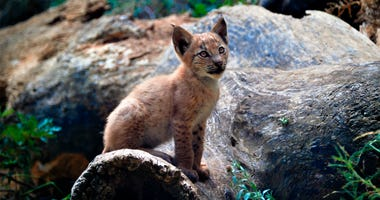 In this handout photo taken on Monday, Aug. 5, 2019 and provided by Fundacion Catalunya La Pedrera, a two month old lynx looks up at the Mont Natura complex in Alt Aneu Pallars Sobira, Spain.