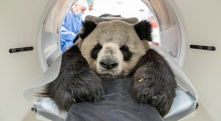 Nine-year-old male giant panda Jiao Ling is prepared for an examination in Berlin.