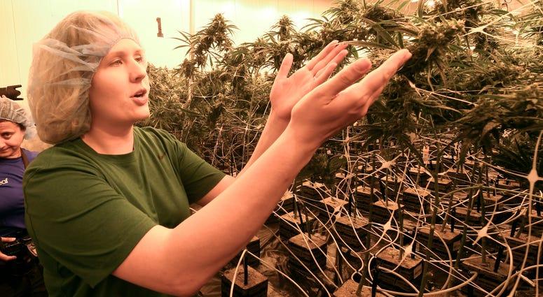 Cannabis grower displays medical marijuana plants.