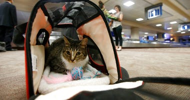 Oscar the cat, who is not a service animal, sits in his carry on travel bag after arriving at Phoenix Sky Harbor International Airport in Phoenix.