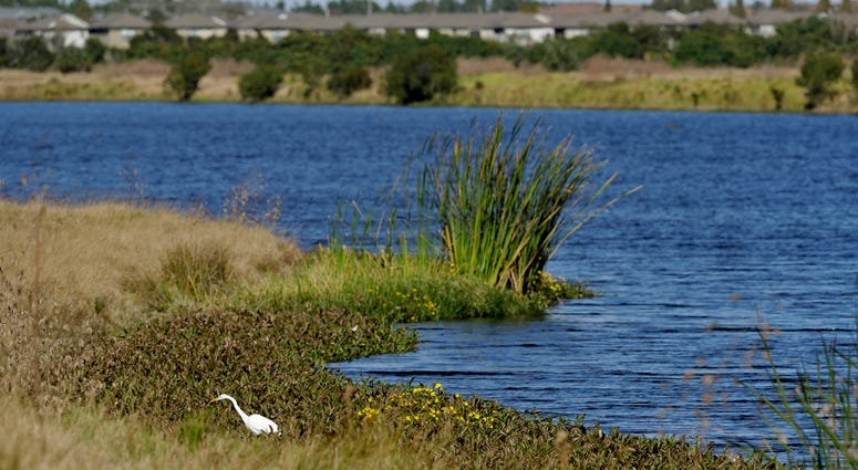 An egret looks for food along Valhalla Pond in Riverview, Fla.