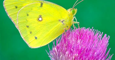 This undated photo provided by Michael Thomas in April 2020 shows a clouded sulphur butterfly in Cromwell, Conn.