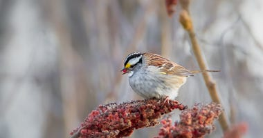 White-throated Sparrow feeding on red sumac fruits.