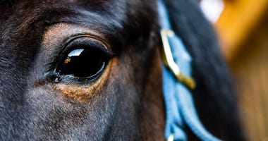 Close-up of a pony, showing detail of eye and surrounding eye orbit.