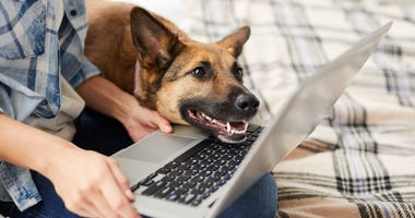 Dog looking at owner's laptop