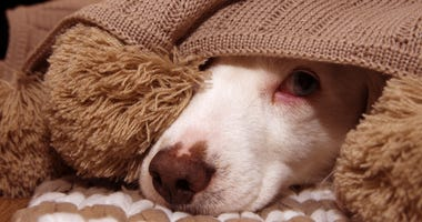 A frightened dog hides under a blanket.