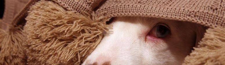 A frightened dog hides under a blanket.