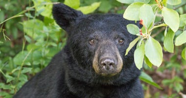 Gazing Black Bear - stock photo
