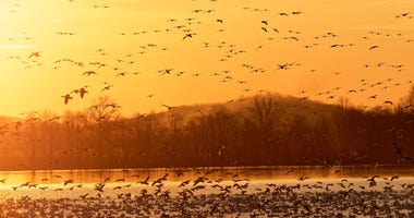 Migrating Snow Geese flying from a lake at Middle Creek Wildlife Management Area in Lancaster County, Pennsylvania.