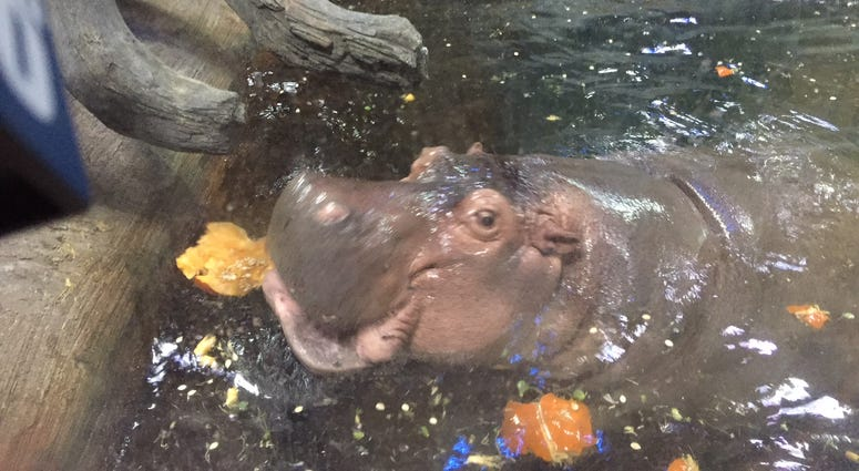 Hungry hippo enjoys a few fall leaves at the first-ever ever Pumpkin and Patch's Fall Fest at the Camden Aquarium.