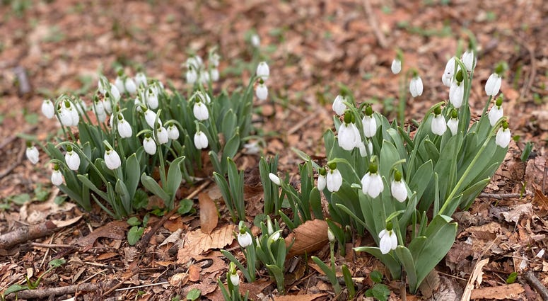 Snowdrops blooming at Morris Arboretum in Chestnut Hill.