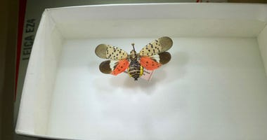 A spotted lanternfly.