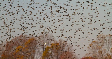 A huge flock of red-winged blackbirds take flight.