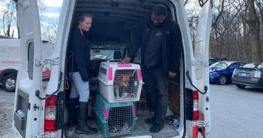 Dogs that survived the Puerto Rico earthquakes are transported to the Brandywine Valley SPCA.