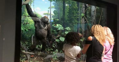 The exhibit's glass at the Academy of Natural Sciences of Drexel University was being re-installed for the newly restored gorilla diorama with taxidermied animals.