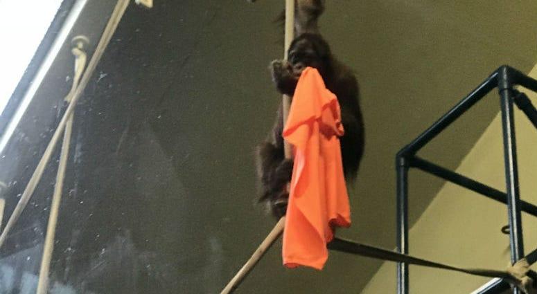 """""""Batu,"""" a Sumatran orangutan"""