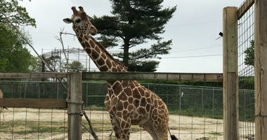 A giraffe at Elmwood Park Zoo
