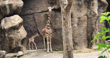 Baby giraffe Beau was born nine days ago, the first time a giraffe has been born at the Philadelphia Zoo in seven years.