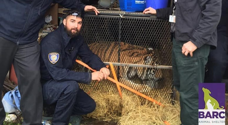 The concerned citizen claimed to have entered an abandoned Houston, Texas home to smoke pot and found a tiger.