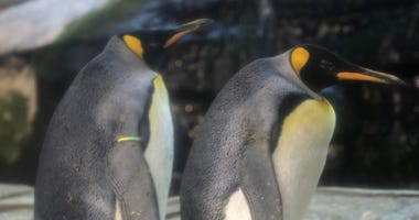 Skipper and Ping, a male king penguin couple, have adopted an egg at Zoo Berlin.
