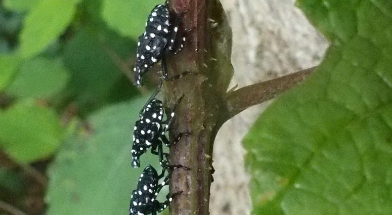 Spotted lanternfly nymphs resting on a tree branch.