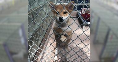 Stolen shiba inu puppy