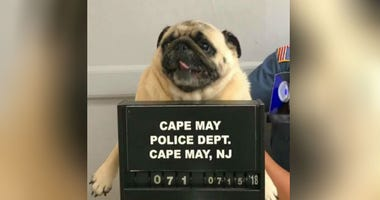 "This photo provided by the Cape May N.J. Police Department shows ""Bean"" a pug dog being photographed at the Cape May Police Dept., in Cape May, N.J."