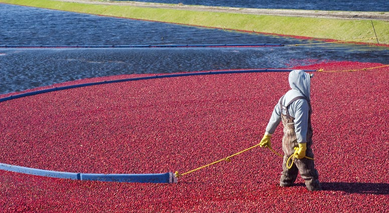 Man harvesting cranberries in the field.