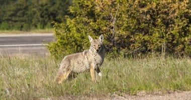 Coyote crossing urban road